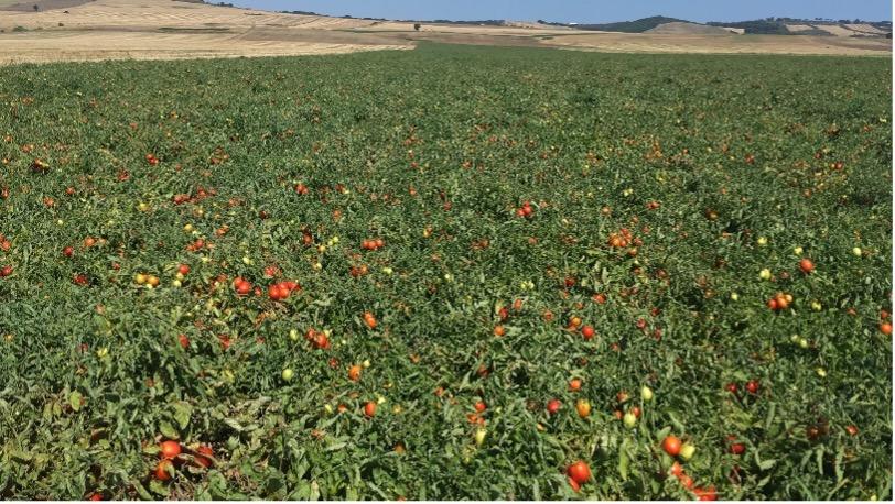 Il pomodoro da industria della gamma Seminis offre alta produttività e qualità