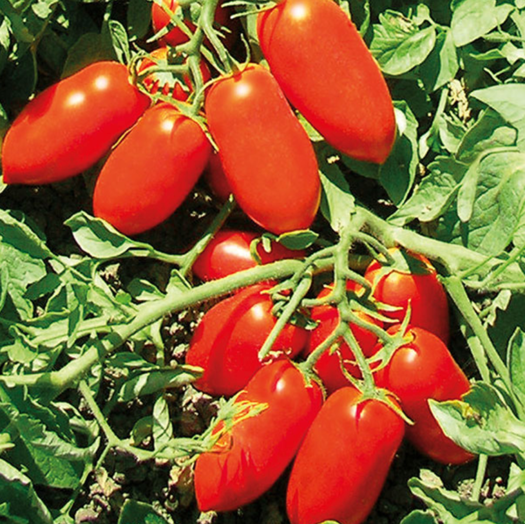 Il pomodoro da industria Docet