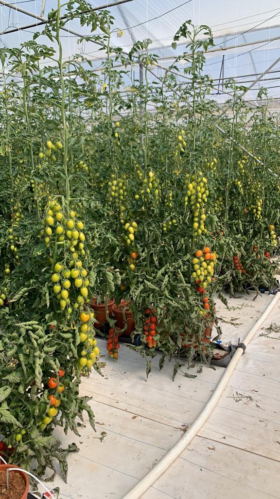 Tomato Experience Center di Acate | Seminis